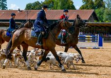 Hunting rider with many dogs at a stud show. Many Hunting rider with many dogs at a stud show royalty free stock image