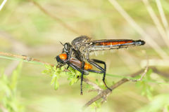 Hunting. The robber fly is hunting a yellow winged insect Stock Images