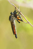 Hunting. The robber fly is hunting a yellow winged insect Royalty Free Stock Photography