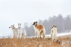 Hunting with russian wolfhounds. Four beautiful russian borzoi dogs standing on winter background Royalty Free Stock Images