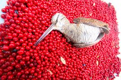 Hunting scene  bird with red berries Royalty Free Stock Photos