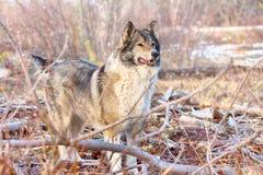 The East Siberian Laika (related breed husky). Hunting scene. Hunting scene with dogs. East Siberian Laika (related breed husky) - weasel disappeared in Stock Image