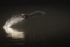 Hunting Sea Eagle Stock Photos