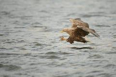 Hunting Sea Eagle Stock Photo