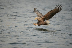 Hunting Sea Eagle Royalty Free Stock Images