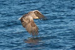 Hunting Sea Eagle. A hunting Norwegian White-tailed Eagle in flight, against a blue sea Stock Images