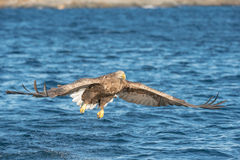 Hunting Sea Eagle Stock Photography