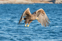 Hunting Sea Eagle Stock Photo