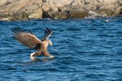 Hunting Sea Eagle Stock Image