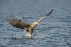 Hunting Sea Eagle Royalty Free Stock Photography
