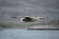 Hunting Sea Eagle Royalty Free Stock Photos
