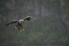 Hunting Sea Eagle Royalty Free Stock Image