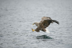 Hunting Sea Eagle Royalty Free Stock Photography