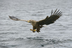Hunting Sea Eagle Royalty Free Stock Photo