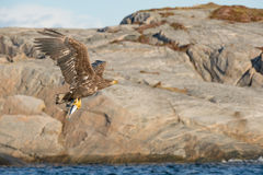 Hunting Sea Eagle Stock Image