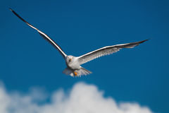 Hunting seagull with large wingspread flies in the blue sky Royalty Free Stock Photography