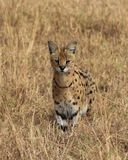 Hunting Serval Stock Images