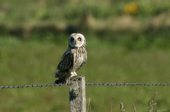 A hunting Short-eared Owl Asio flammeus perched on top of a barbed wire fence post. stock photo