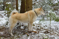 Hunting Siberian Laika Stock Photo