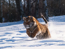 Hunting Siberian tiger- Panthera tigris altaica Royalty Free Stock Photography