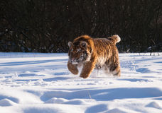 Hunting Siberian tiger- Panthera tigris altaica Stock Photo