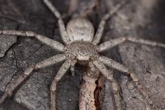 Hunting spider camouflaged on wood Royalty Free Stock Photo