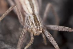 Hunting spider camouflaged on wood Stock Photography