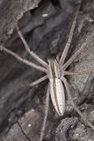 Hunting spider camouflaged on wood Stock Photo