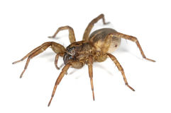 Hunting Spider Isolated On White Background. Royalty Free Stock Photography