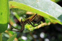 Hunting spider lurks well camouflaged in their hiding Royalty Free Stock Image