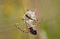 Hunting Spider Stock Photography