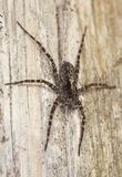 Hunting spider on wood. Stock Photos