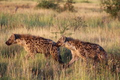 Hunting spotted hyenas royalty free stock photos