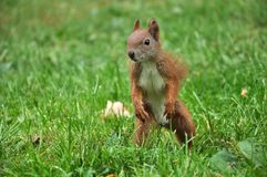 Hunting Squirrel. European Red Squirrel hunting for food Stock Photos