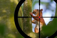 Hunting a squirrel stock photos