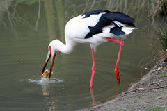 Hunting stork. Stork eating a meal Royalty Free Stock Photos