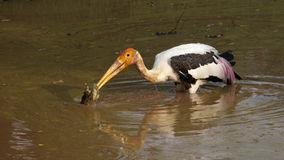 Hunting Stork Stock Photography