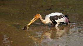 Hunting Stork. Stork hunting a frog. Photo taken at Yala National Park, Sri Lanka Stock Photography