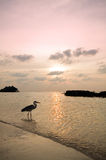 Hunting at sunset. Sun set in the Maldives. A heron hunts while the sun sets in the distance Stock Images