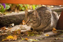 Hunting tabby cat. Detail of hunting tabby cat Stock Photo