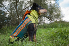 Hunting Terrier protected by dog vest Royalty Free Stock Image