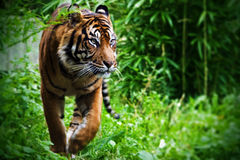 Hunting Tiger Stock Photo