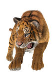 Hunting Tiger Stock Photography