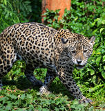 Hunting Tiger. Jaguar cat looks like he is growling at something Royalty Free Stock Photo