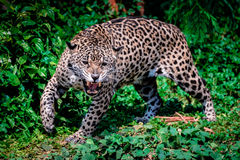 Hunting Tiger. Jaguar cat looks like he is growling at something Royalty Free Stock Images