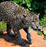 Hunting Tiger. Jaguar cat looks like he is growling at something Stock Photography