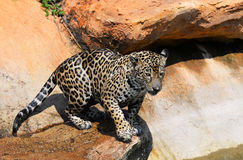 Hunting Tiger. Jaguar cat looks like he is at something Royalty Free Stock Photography