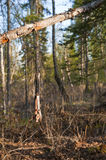 Hunting trap in forest Stock Photos