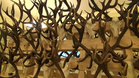 Hunting trophies – mass of skulls and horns stock footage