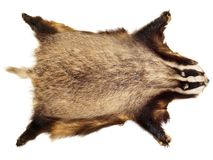 Hunting Trophy - Badger stock photography